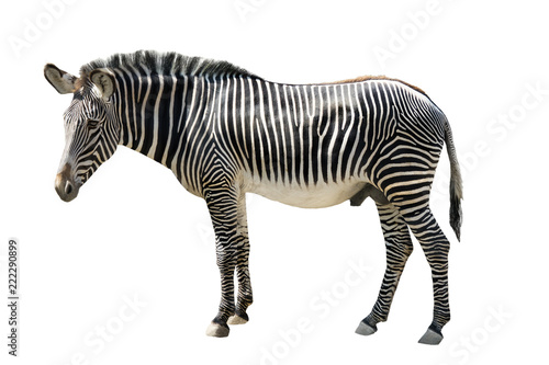 Tuinposter Zebra male zebra isolated on white