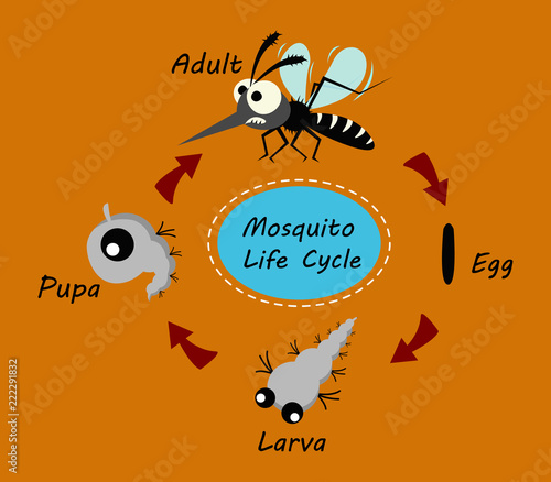 mosquito life cycle concept. vector illustration. Slika na platnu