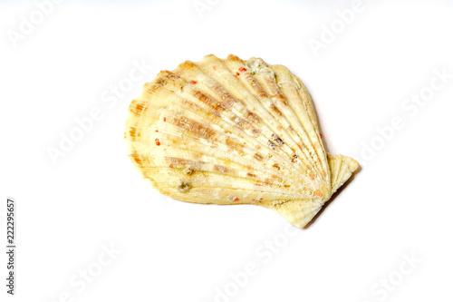 Jakobsmuschel oder Große Pilgermuschel (Pecten maximus)