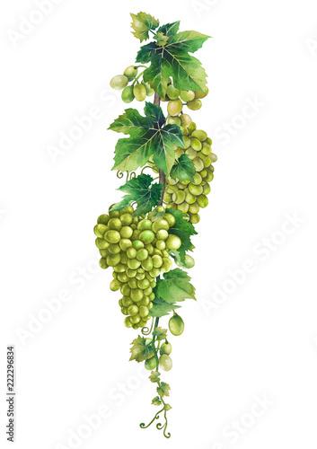 akwarela-kisci-bialych-winogron