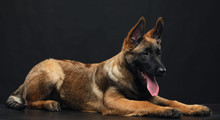Belgian Shepherd Dog, Malinois...