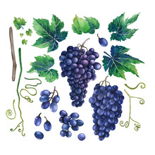 Watercolor Bunches Of Blue Grapes, Green Leaves And Branches