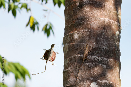 Photographie  Draco lizards flying or gliding in rainforests in Thailand