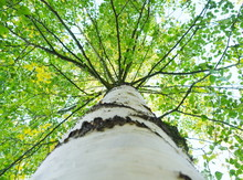 A Birch Tree With Green Leaves Is A View From Below On The Crown
