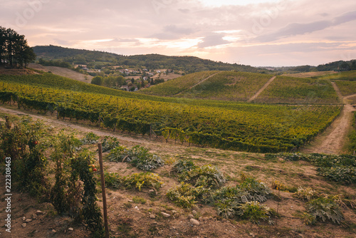 Vineyards in the italian countryside landscape