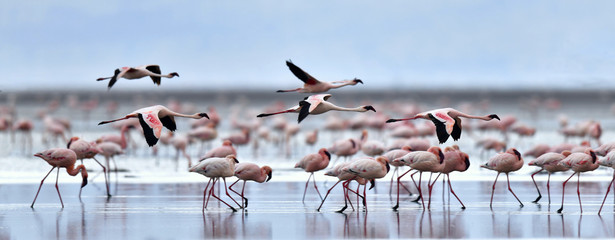 FototapetaColony of Flamingos on the Natron lake.Lesser Flamingo Scientific name: Phoenicoparrus minor. Tanzania Africa.