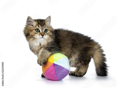 Valokuva  Fluffy British Longhair kitten playing side ways with a multi colored soft ball,
