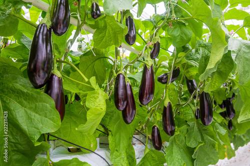 growing vegetables in an industrial greenhouse eggplant Wallpaper Mural