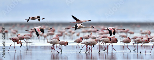 Photo Stands Flamingo Colony of Flamingos on the Natron lake.Lesser Flamingo Scientific name: Phoenicoparrus minor. Tanzania Africa.