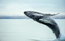 Humpback Whale (Megaptera Nova...