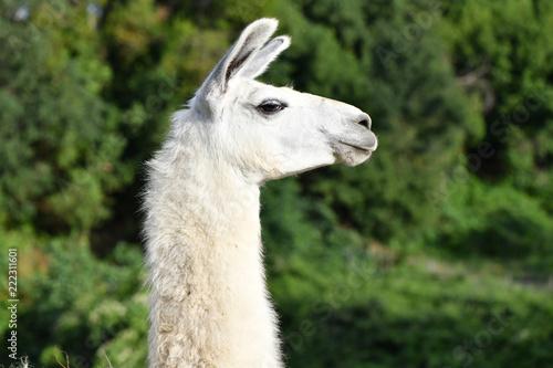 Staande foto Lama Llama Profile, looking right