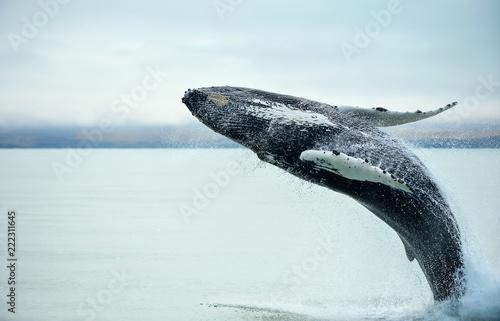 Fototapeta Humpback Whale (Megaptera novaeangliae) breaching near Husavik City in Iceland