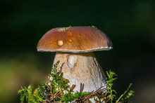 Close-up Image Of Fresh Brown King Bolete Mushroom Growing In Green Moss On A Sunny Autumn Day, Dark Blurry Background, Czech Republic, Europe