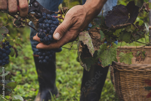 La pose en embrasure Vignoble Man harvesting black grapes in the vineyard