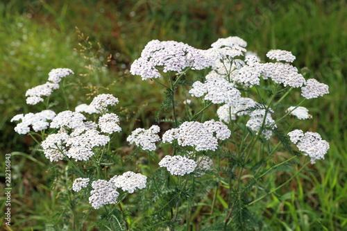 Photo  Achillea millefolium. Yarrow in late summer in the meadow