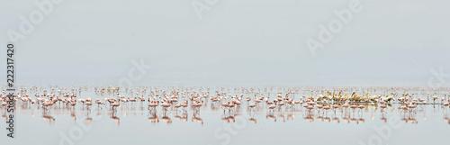 Colony of Flamingos on the Natron lake.Lesser Flamingo Scientific name: Phoenicoparrus minor. Tanzania Africa.