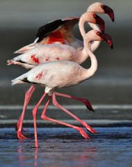 Fototapeta Ptaki A group of lesser flamingos (Scientific name: Phoenicoparrus minor) walk on the water of Lake Natron. Tanzania.