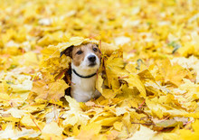 Dog Lying Down Buried Under Yellow Fallen Autumn Leaves