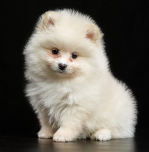 Pomeranian Spitz Dog On Isolat...