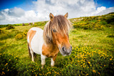 close up of wild dartmoor pony