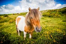Close Up Of Wild Dartmoor Pony