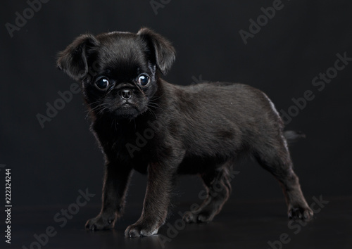 Deurstickers Franse bulldog Belgian Griffon, Brussels Griffon dog on Isolated Black Background in studio