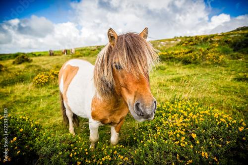 Fotomural close up of wild dartmoor pony
