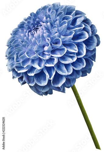 Beautiful blue dahlia flower on a white isolated background. Flower on the stem. Closeup. Nature.
