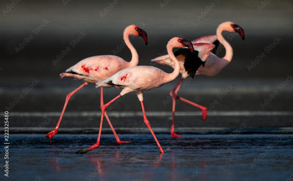 Walking Lesser flamingos (Scientific name: Phoenicoparrus minor) walk on the water of Lake Natron. Tanzania. Africa.