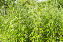 Sweet Wormwood, Sweet Annie, Sweet Sagewort Or Annual Wormwood Plant In Garden