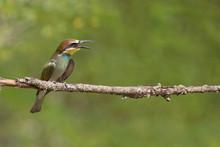 Giovane Gruccione Europeo (Merops Apiaster)