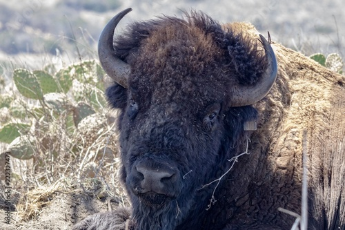 In de dag Bison American Bison laying down in the shade close up of head