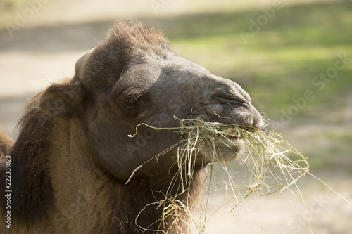 Recess Fitting Camel Kameel - lekker maaltje