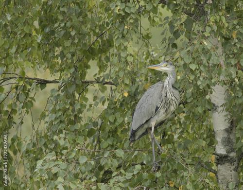 Photo  Grey Heron