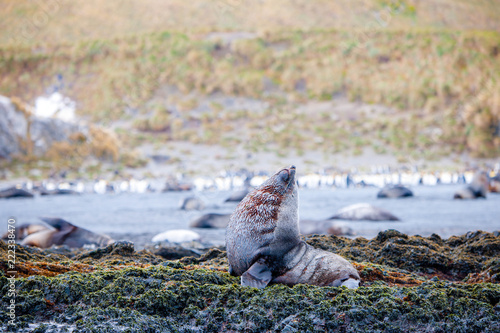 Photo  Cute penguins, seals, sea lions and elephant seals are lounging together in Anta