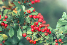 Cotoneaster Horizontalis Red  ...