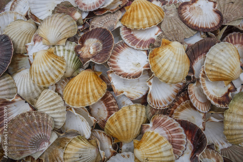 Seashell background, lots of Queen scallops