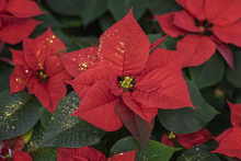 Red Poinsettia, Euphorbia Pulcherrima, Christmas Star Close-up, Festive Background For Design. Festive Christmas, Winter Holiday, Happy New Year Background