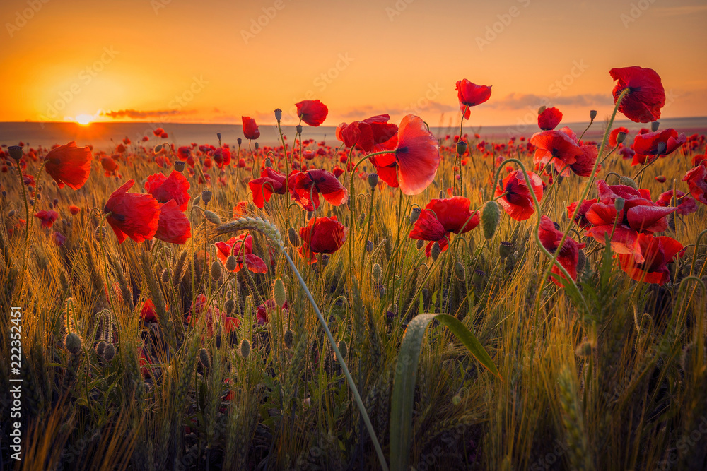 Fototapeta Amazing beautiful multitude of poppies growing in a field of wheat at sunrise with dew drops