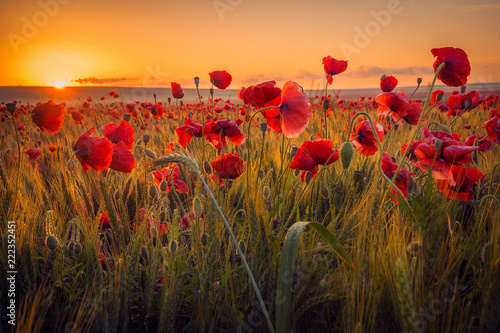 Poster de jardin Poppy Amazing beautiful multitude of poppies growing in a field of wheat at sunrise with dew drops