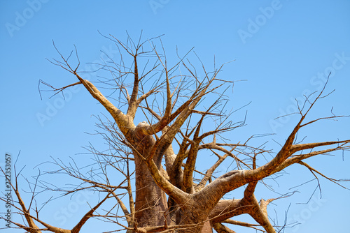Foto op Plexiglas Baobab Leafless branches of baobab tree at dry season, on a background of clear blue sky