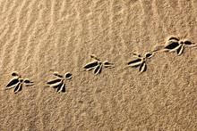 Seagull Foorprints In The Beach Sand