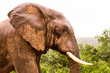 Elephant Face Side