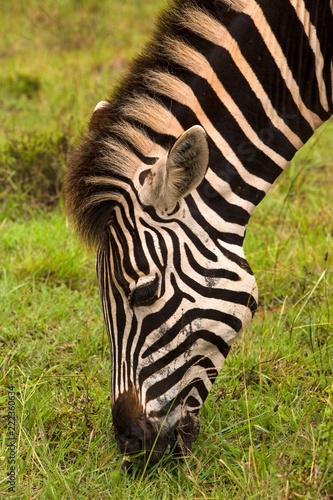 Tuinposter Zebra Zebra's Head
