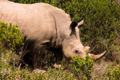 Foto op Canvas Neushoorn Rhino Face