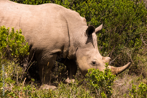 Poster Neushoorn Rhino Face