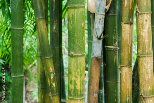 In de dag Bamboo Close up of Bamboo branch in bamboo forest, beautiful green nature background