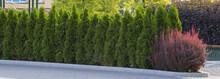 Green Hedge Of Thuja Trees, Na...