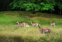 ROE Deer In Bison Park - Zeist-Netherland