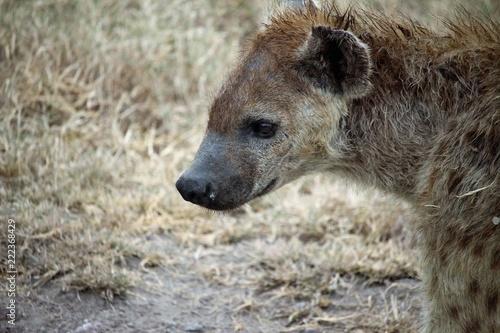 Foto op Plexiglas Hyena Hyäne